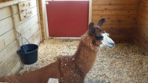The llama, Prince Charming, that I was terrified of..as I am with all llamas. Don't judge!